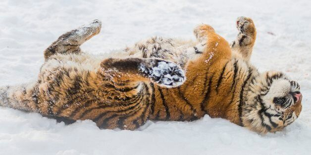 A Siberian tiger, Panthera tigris altaica, enjoys the snow in its enclosure in the Nyiregyhaza animal...
