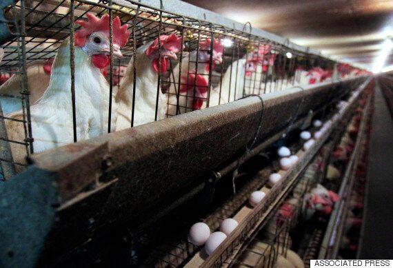 네슬레가 자연 방사 달걀만 이용하겠다고