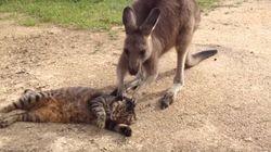 이 캥거루는 고양이와 너무 놀고