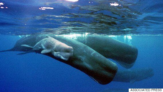 새로 발견된 고래 종에 '모비 딕'을 딴 이름을