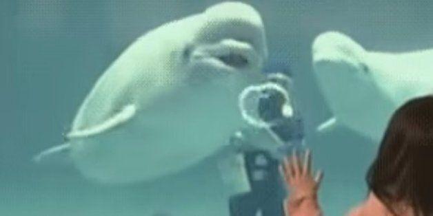 벨루가 고래는 공기 방울로 기분을