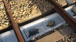 철길에 거북이 위한 통로를 만든