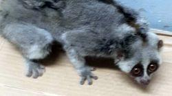 부산 재래시장에서 발견된 새끼 슬로로리스 원숭이(사진,