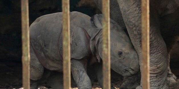 A one-day old male rhino calf stands near its mother inside a cage at the Assam state zoological park...