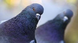 비둘기는 유방암 조직을 식별해낼 수