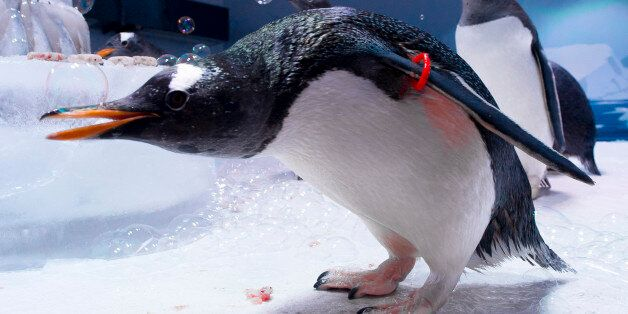 Gentoo Penguins celebrate their Anniversary at the London Aquarium to mark the one-year opening of the...