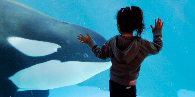 FILE - In this Nov. 30, 2006, file photo, a young girl watches through the glass as a killer whale passes...
