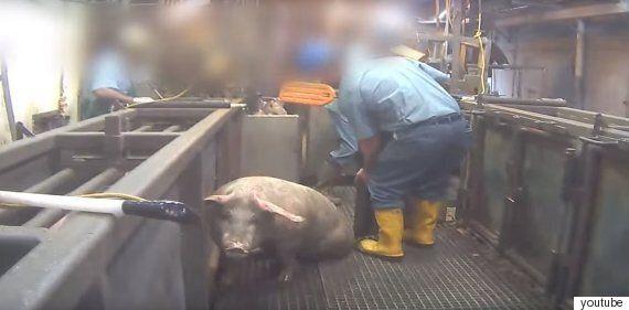 도살 직전 돼지들의 고통을 담은 잠입 촬영 동영상이