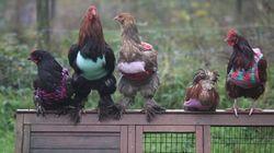 엄마와 딸이 닭들을 위해 스웨터를 만든 이유(사진,
