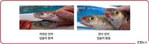 전복·광어·전어 등 국산 어종 자연산