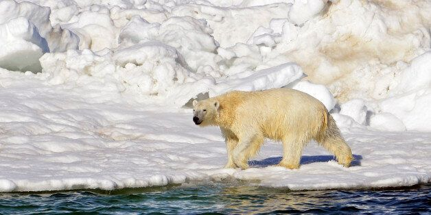 FILE - In this June 15, 2014 file photo, a polar bear dries off after taking a swim in the Chukchi Sea...
