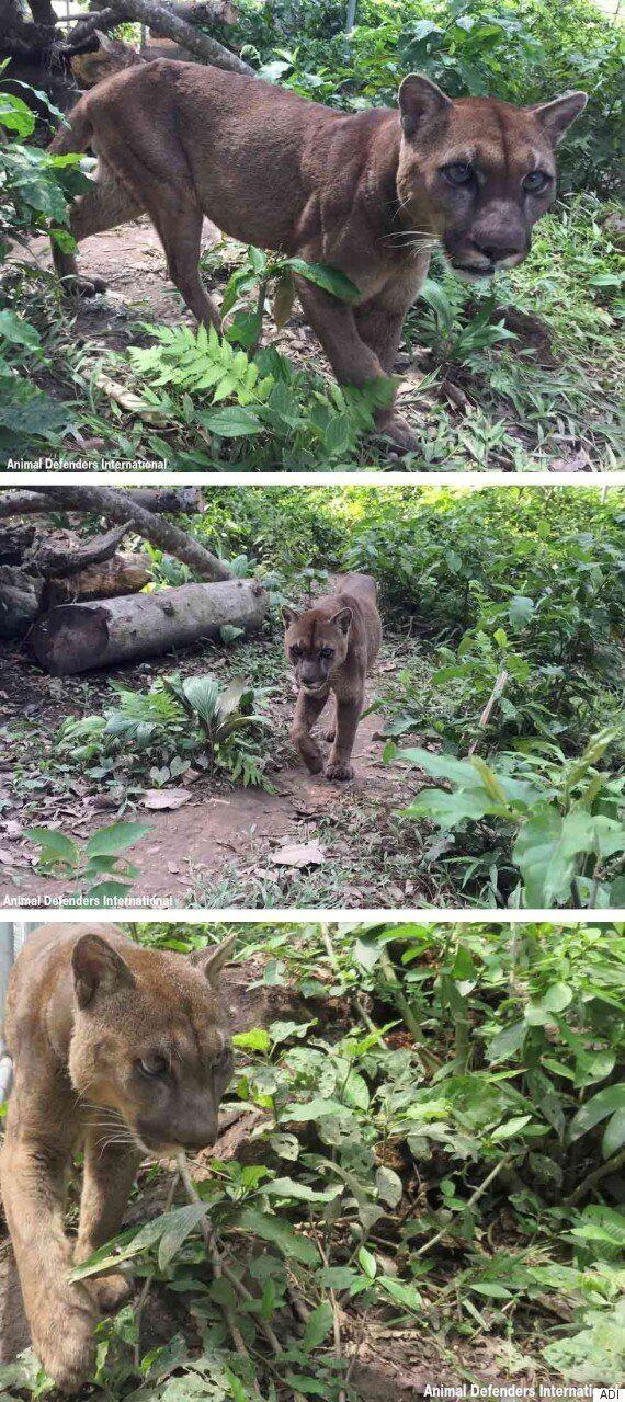 20년 동안 사슬에 묶여있던 서커스단 퓨마, 숲으로 돌아가기 위한 첫발을 떼다(사진,