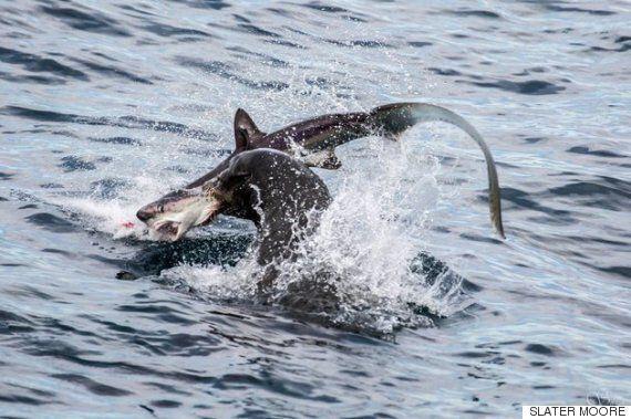 상어를 씹어 먹는 바다 사자(영상,