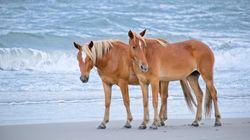 To κόλπο 500 ετών στο οποίο καταφεύγουν τα άγρια άλογα στη Β.Καρολίνα για να επιβιώσουν των