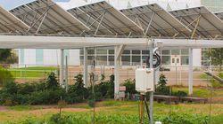 Ces panneaux solaires au-dessus de plants de tomates relèvent-ils de l'idée de
