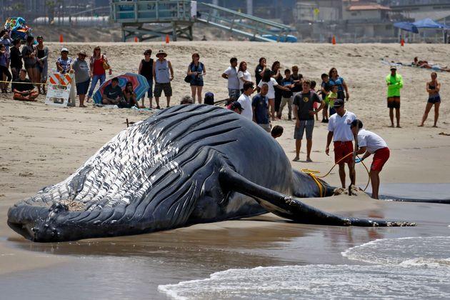 Πως η λατρεία των Ιαπώνων να παρακολουθούν τις φάλαινες στο φυσικό τους περιβάλλον ίσως μπορεί να τις