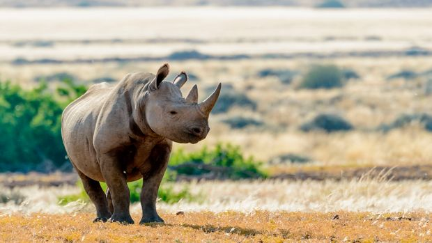 South Western Black Rhinoceros or Hook-lipped Rhinoceros (Diceros bicornis occidentalis),  Desert Rhino Camp, Palmwag Concession, Namibia. (Photo by: Education Images/Universal Images Group via Getty Images)