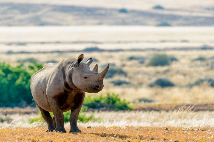 Namibia is home to about half of the planet's remaining black rhinos. The country is allowed to issue five permits annually t