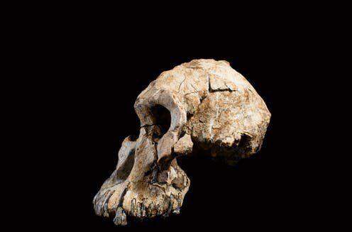 Cráneo de MRD.Dale Omori, cortesía del Museo de Historia Natural de