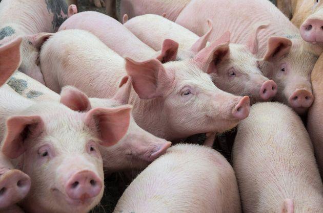 Producteurs de porc: un manque à gagner de 6 millions $ par semaine depuis