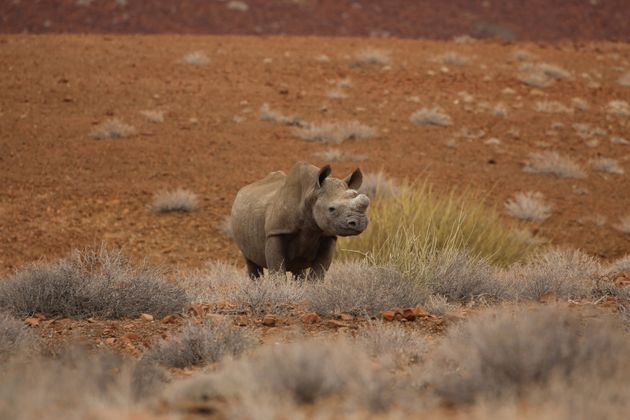 A black rhinoceros is spotted at Wilderness Safaris Desert Rhino Camp. (Photo by Michaela Urban/Chicago...