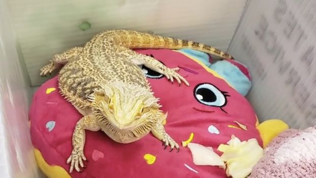 Bearded dragon found in kid's backpack