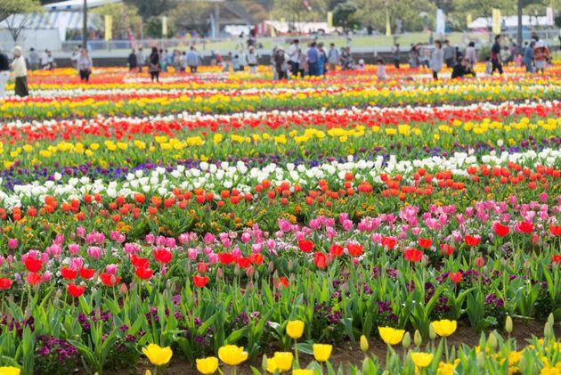 柏市のあけぼの山農業公園で咲き誇るチューリップ