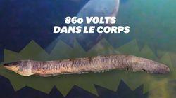 L'anguille la plus électrique du monde peut envoyer plus de 800