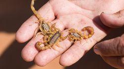 Canaries: Des parents retrouvent dans le cartable de leur fille un scorpion ramené du
