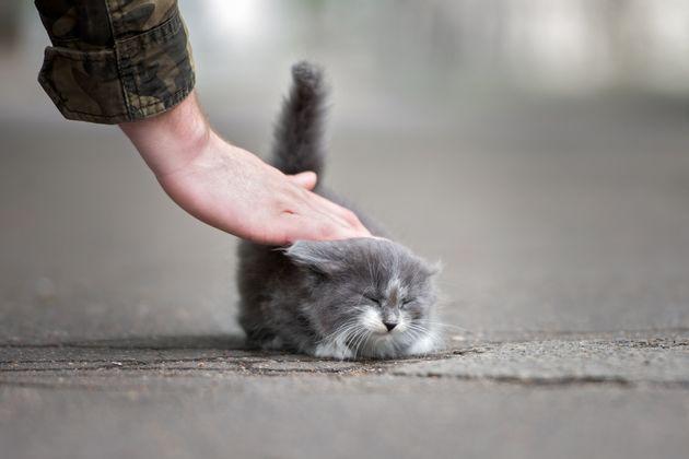 고양이는 엉덩이를 들고 꼬리를 세워 친근함을 표시한다. 야생동물 때부터 간직한 냄새를 통한 사회적 소통이라는 설명이