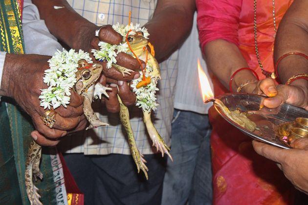 Ινδία: Πάντρεψαν βατράχια για να βρέξει - Τώρα τα χωρίζουν επειδή