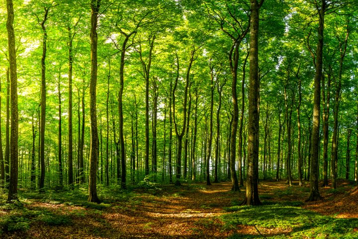 This image was taken in a beech forest just after sunrise.