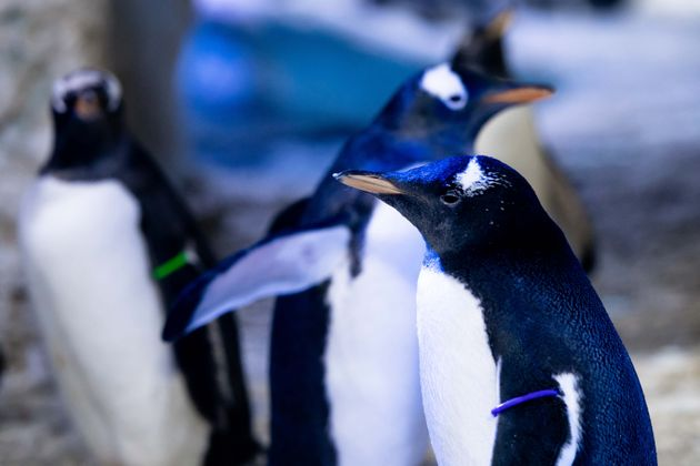 Sea Life London Aquarium's first Gentoo penguin to not have its gender assigned, seen with its adoptive...