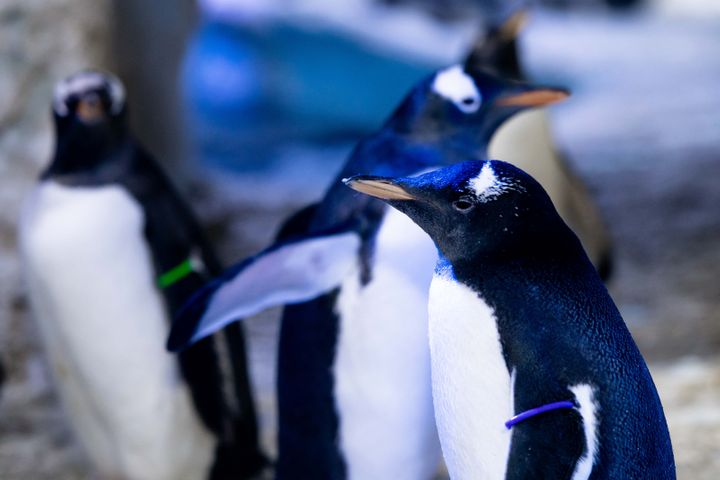 Genderless Penguin Being Raised By Same-Sex Parents At