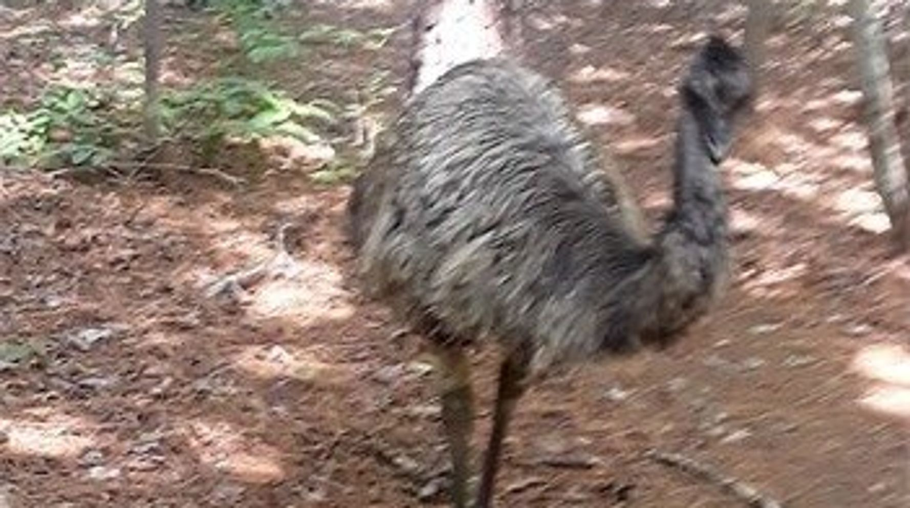 Westlake Legal Group 5d7ac3203b00002b88d1cc02 Eno The Emu Dies During Capture After Eluding Authorities For Months