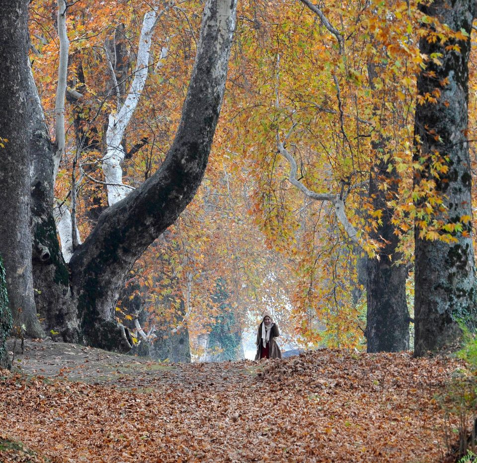 People walk under the Chinar trees which have changed their colour in the Nishat Mughal garden due to...