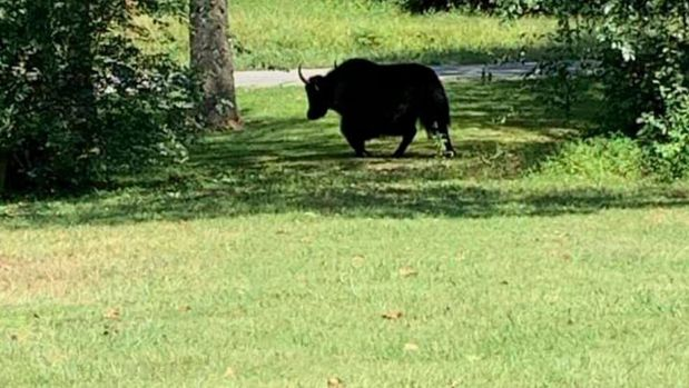This photo provided by Laura Cooper from the Nelson County Farm Bureau shows a yak in Lovingston, Va,, on Wednesday, Sept. 11, 2019. Authorities say the yak on its way to the butcher's shop escaped to the nearby mountains avoiding animal control officers and treats trying to lure it back into a trailer. The yak named Meteor was on its last ride Tuesday from Buckingham, Virginia, to the butcher when it got out of its trailer.