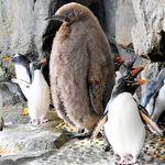 「人、入ってません?」大きすぎて注目されたあのペンギンが1歳に 愛称は「けやき」