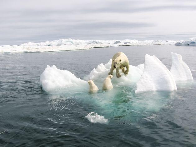 Polar bear in the arctic. Bears in the