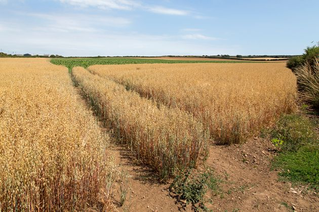 A crop of barley badly affected by the heat wave and drought of the summer of