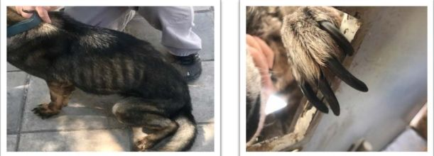 Photos taken in Jordan in 2017 show an underweight canine (left) and a canine needing its nails trimmed.