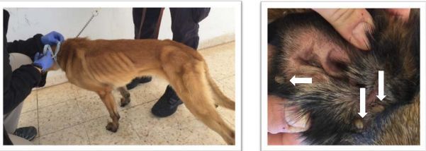 An underweight canine, left, and a dog's ear covered with engorged ticks are seen in photos taken in Jordan in April 2018.