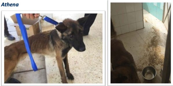 Athena was 2-years old when she arrived in Jordan in May 2017. Less than a year later she was found to be severely emaciated,