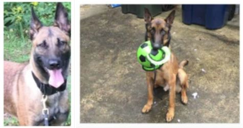 Zoe (left) and Mencey were among the dogs who died after being sent to Jordan as part of a U.S. State Department anti-terrorism program. Zoe died from a heat stroke less than a year after arriving in the country and Mencey died after contracting at least two diseases.