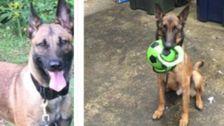 US-Bombe-Schnüffeln Hunde Geschickt, Um den Kampf gegen Terrorismus In Jordanien Sterben an Vernachlässigung