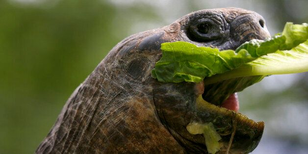 A male 20-year-old Galápagos tortoise takes a bite of lettuce fed to it by a handler at The Pittsburgh...