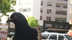 뉴욕 최고의 인기 동물 베이글-비둘기
