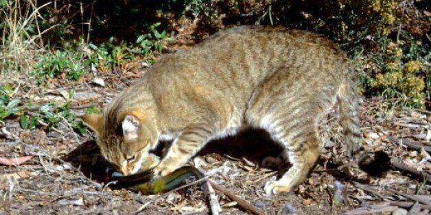 호주는 고양이 200만마리 도살을 계획