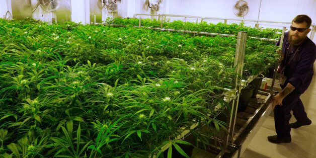 FILE - In this Sept. 15, 2015 file photo, lead grower Dave Wilson cares for marijuana plants in
