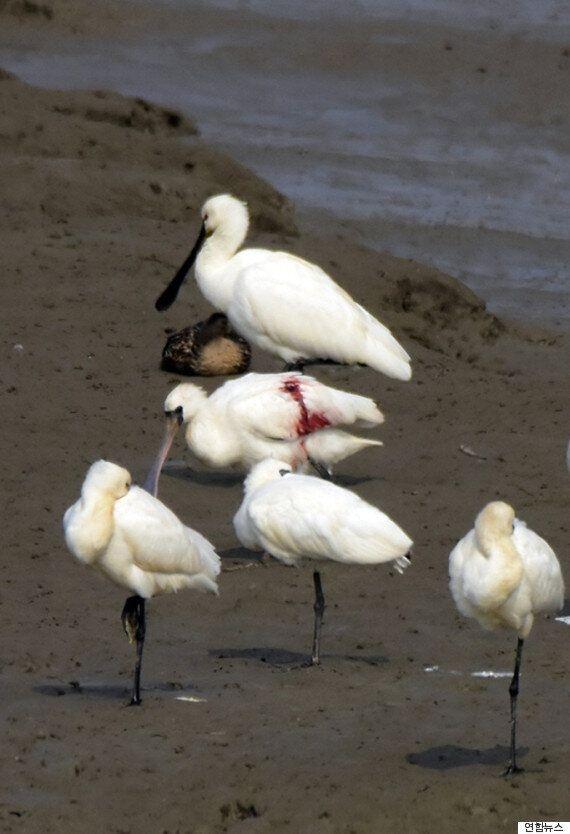 멸종위기종 저어새가 총상을 입은 채 발견됐다(사진
